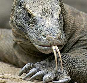 dragon_komodo_indonesia