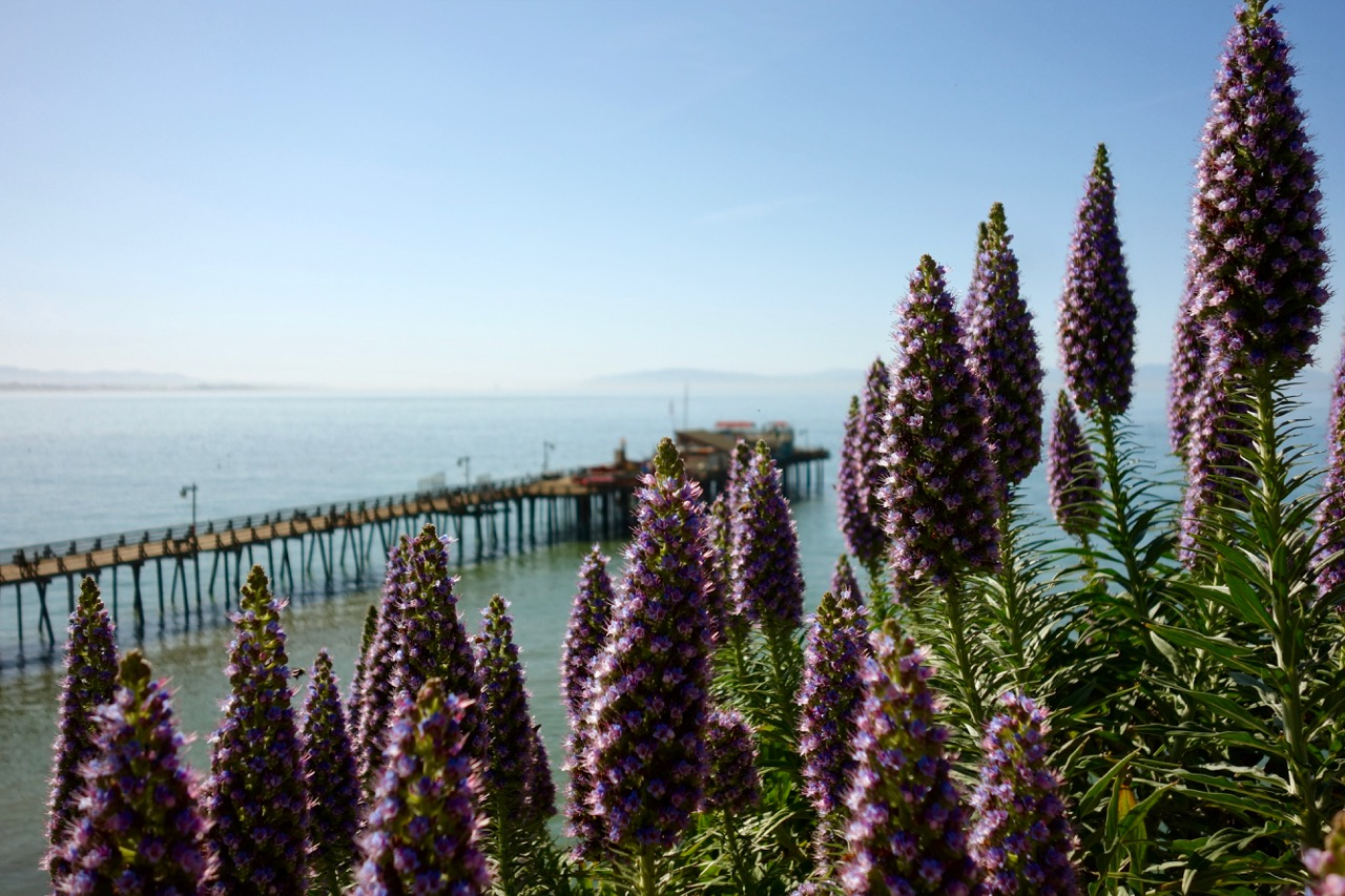 California Lupine