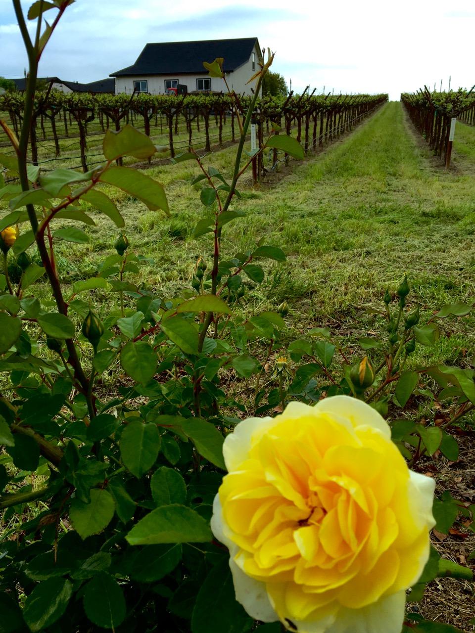 Sonoma CA Vineyard