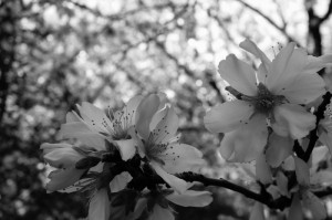 Early spring almond blossoms