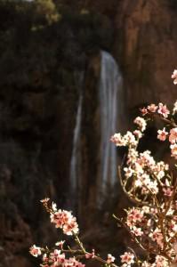 Almond blossoms at Immouzer