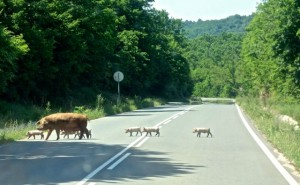 Crossed the border from Turkey and this mama pig and her 12 babies crossed the highway!
