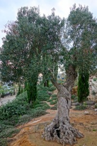 Entwined ancient olive trees