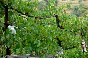 Albania scarecrows - save the grapes!