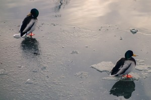 Ducks finding mini icebergs in the canal