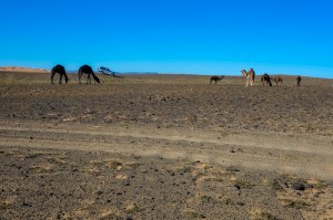 Camels and 4-wheel drives are the primary transport across the hammada (pre-Sahara)