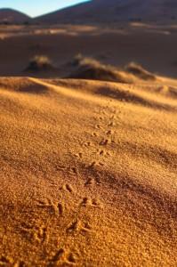 Scarab beetle tracks