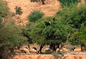 Goats climbing in Argan trees
